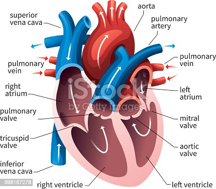 Human Heart Circulatory System Stock Vector Art & More ...