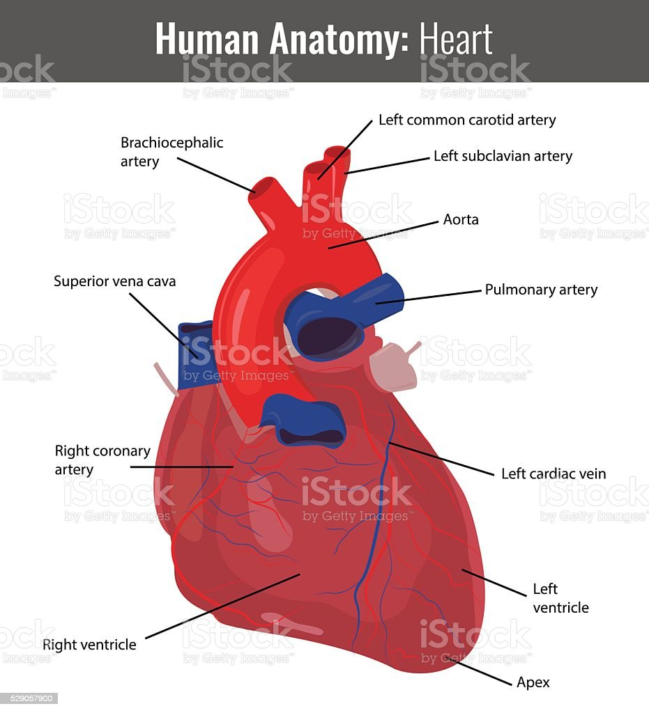 Vector the heart arteries diagram auto electrical wiring diagram royalty free coronary artery clip art vector images illustrations rh istockphoto com labeled heart diagram arteries labeled heart diagram arteries ccuart Gallery
