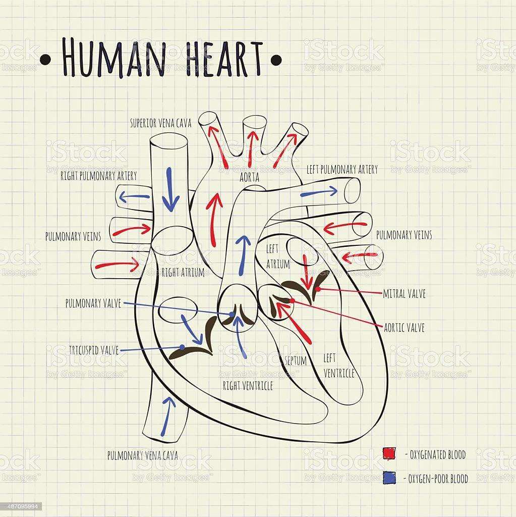 Charmant Markierte Diagramm Menschliches Herz Zeitgenössisch ...