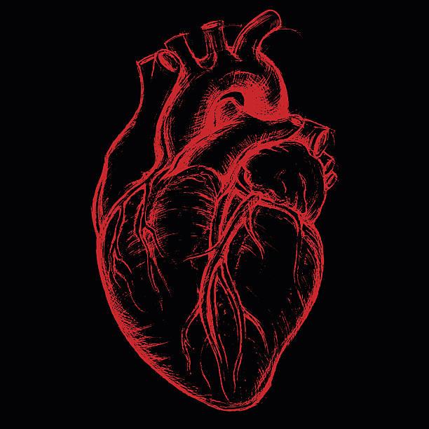 ilustrações de stock, clip art, desenhos animados e ícones de coração humano desenhar linha de trabalho - coração humano