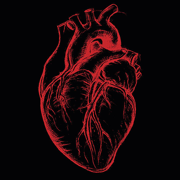 Human Heart Drawing line work Human Heart Drawing line work Vector for use. human heart stock illustrations