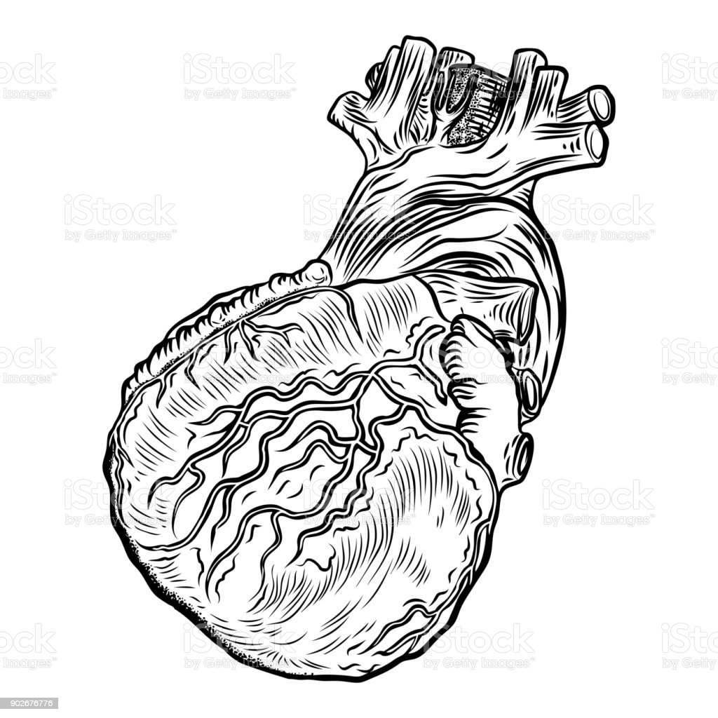 Menschlichen Herzen In Der Anatomie Handgezeichnete Abbildung Im ...
