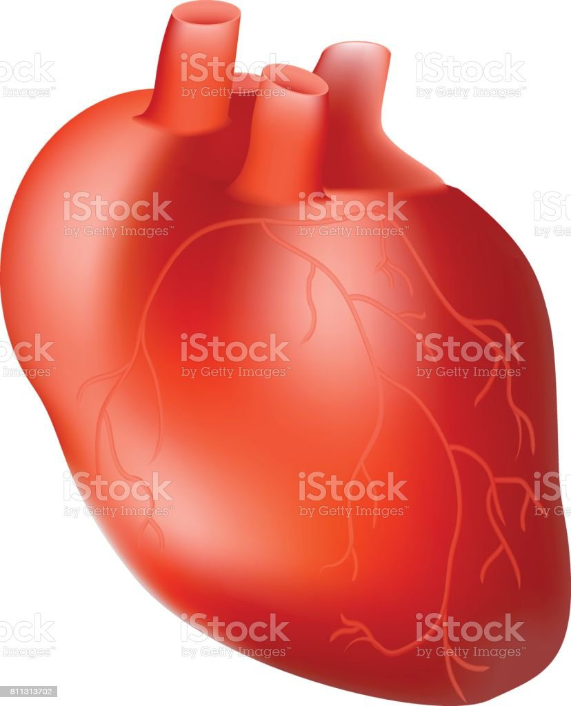 Human Heart. Internal Organ. Anatomy Concept Isolated On A White Background. Realistic Vector Illustration vector art illustration