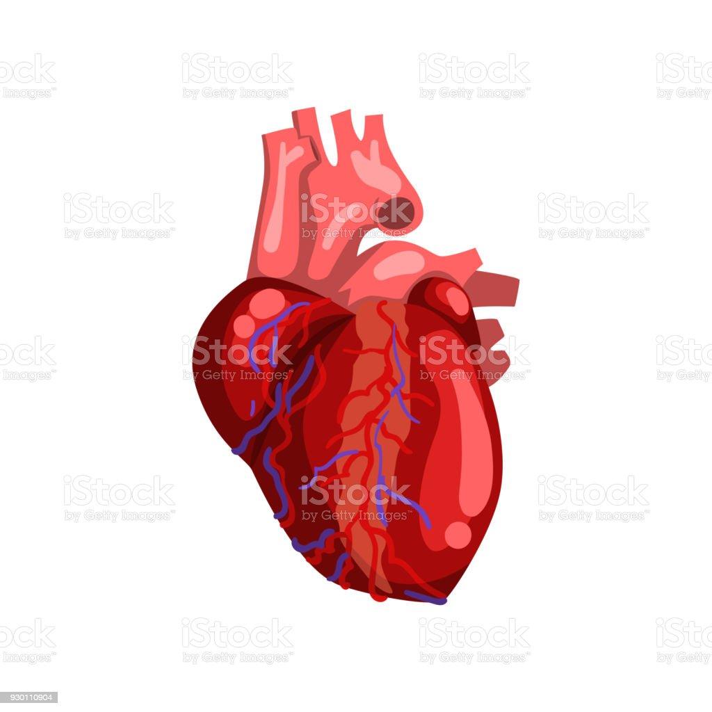Menschliches Herz Inneres Organ Anatomie Vektor Illustration Auf