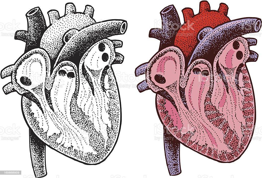 Human Heart - Medical Organ Illustration royalty-free stock vector art