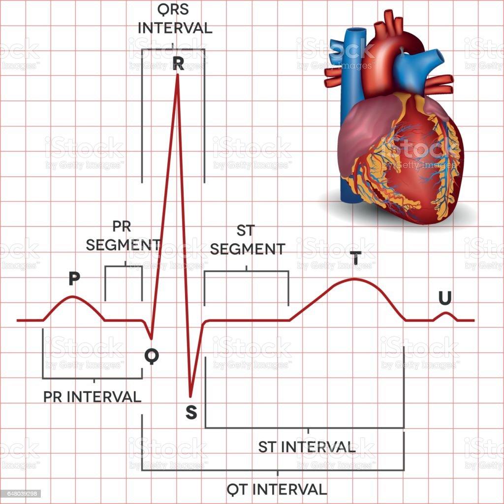 Human Heart Normal Sinus Rhythm And Heart Anatomy Stock Vector Art ...