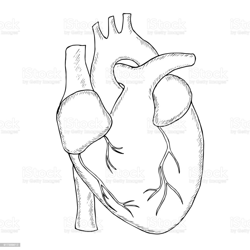Human Heart Sketch Liner Stock Vector Art & More Images of Anatomy ...