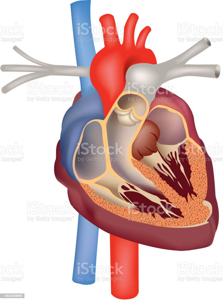 Human Heart structure. vector art illustration