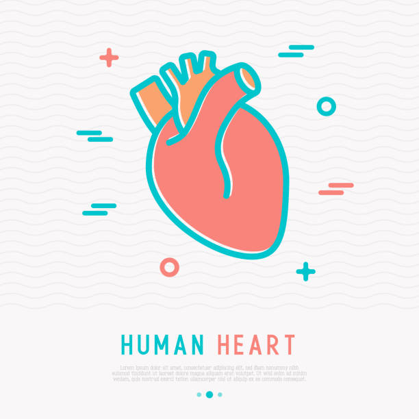 Human heart thin line icon. Simple vector illustration of human internal organ. Human heart thin line icon. Simple vector illustration of human internal organ. human heart stock illustrations