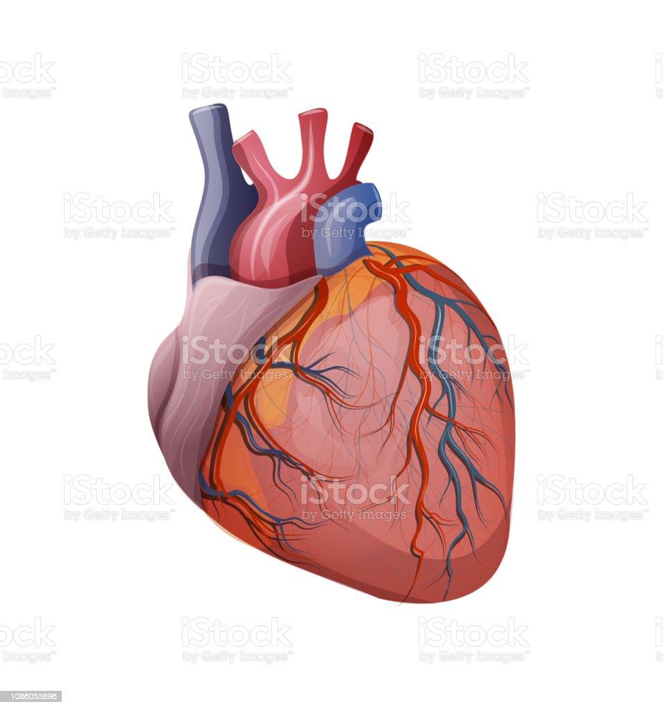 human heart. vector. cardiology vector art illustration