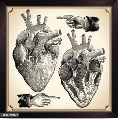 Human Heart in engraving style.