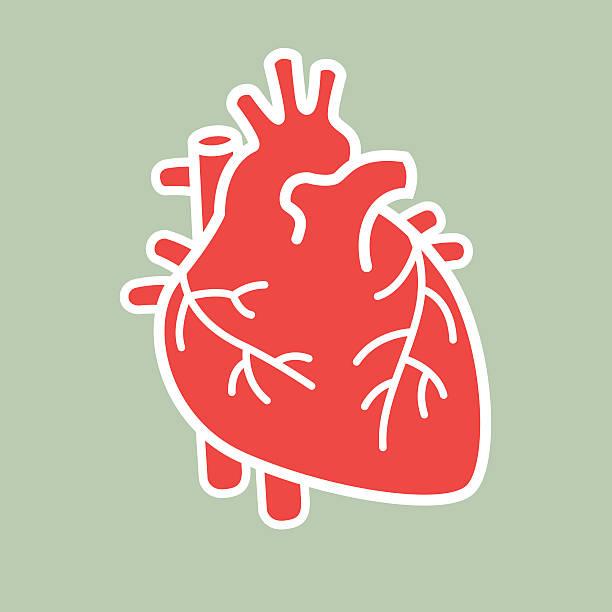 ilustrações de stock, clip art, desenhos animados e ícones de coração humano vector - coração humano