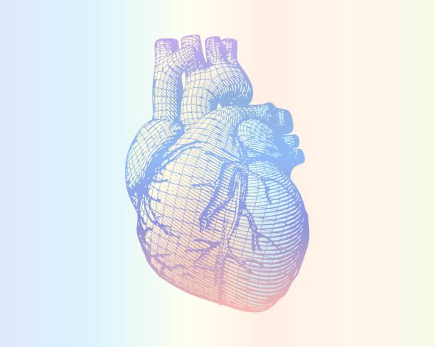 ilustrações de stock, clip art, desenhos animados e ícones de human heart wireframe on soft colorful gradient bg - coração humano