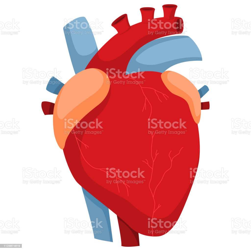 Human Heart With Arteries And Valves Vector Cartoon Illustration Of