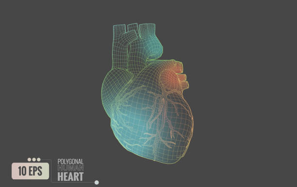 Best Anatomical Heart Model Illustrations, Royalty-Free Vector