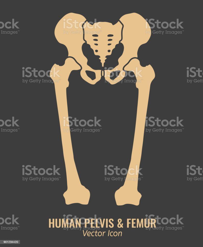 Human hip bones vector art illustration