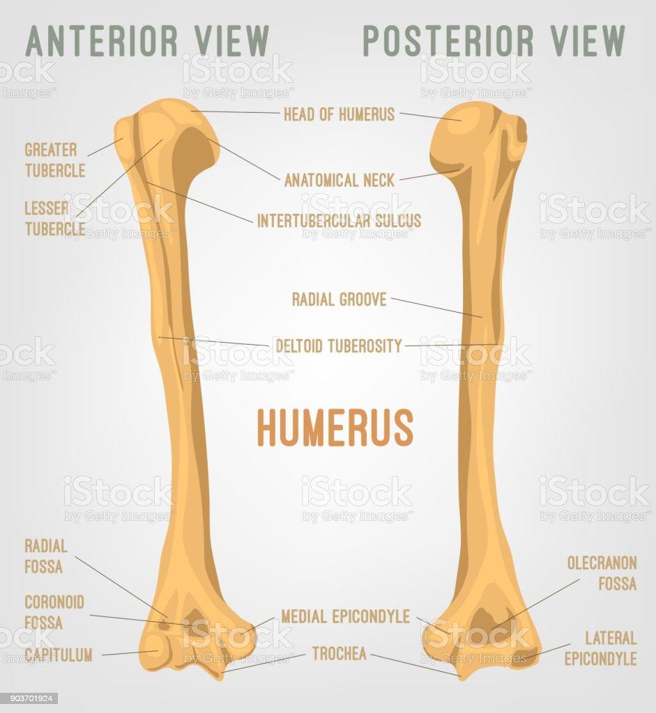Human Humerus Bone Stock Vector Art More Images Of Anatomy