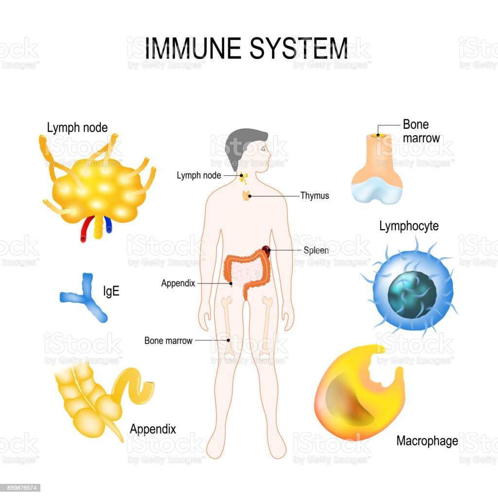 Anatomy of the immune system
