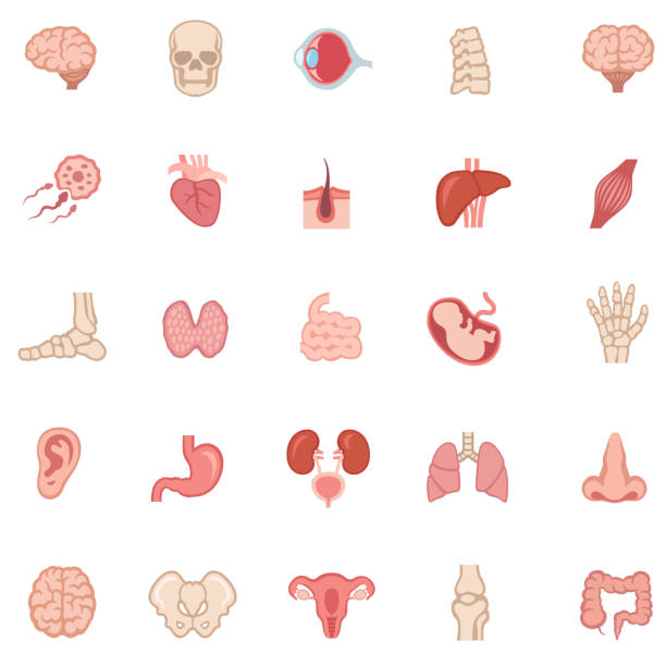 Human internal organ - Color icons vector art illustration