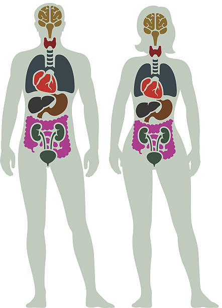 illustrazioni stock, clip art, cartoni animati e icone di tendenza di organo interno dell'uomo diagramma - il corpo umano