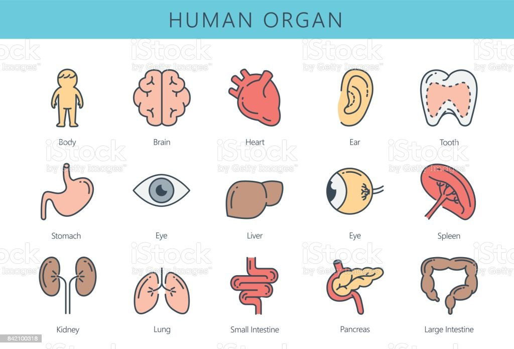 Human internal organ icon collection. vector art illustration