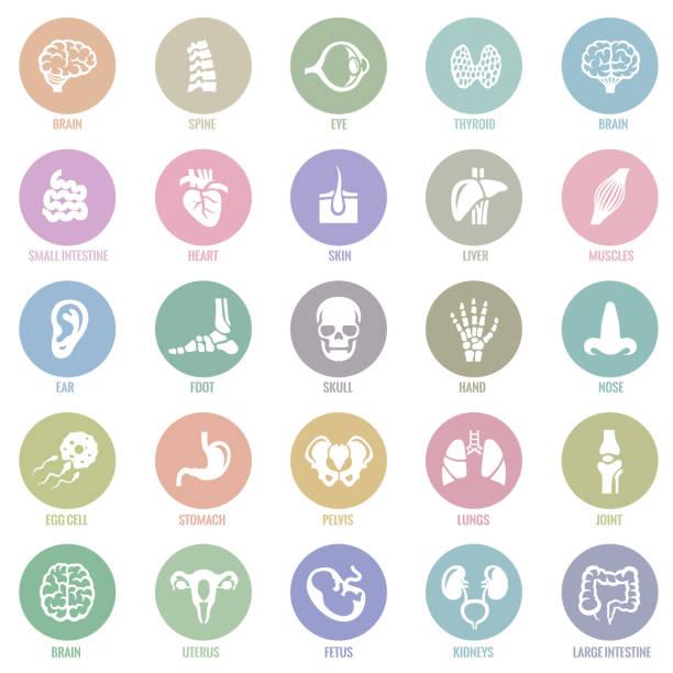 인간의 내부 장기 아이콘 - 척추 신체 부분 stock illustrations