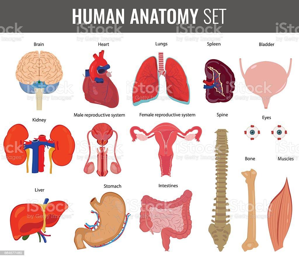 top 60 human stomach internal organ clip art  vector graphics and illustrations
