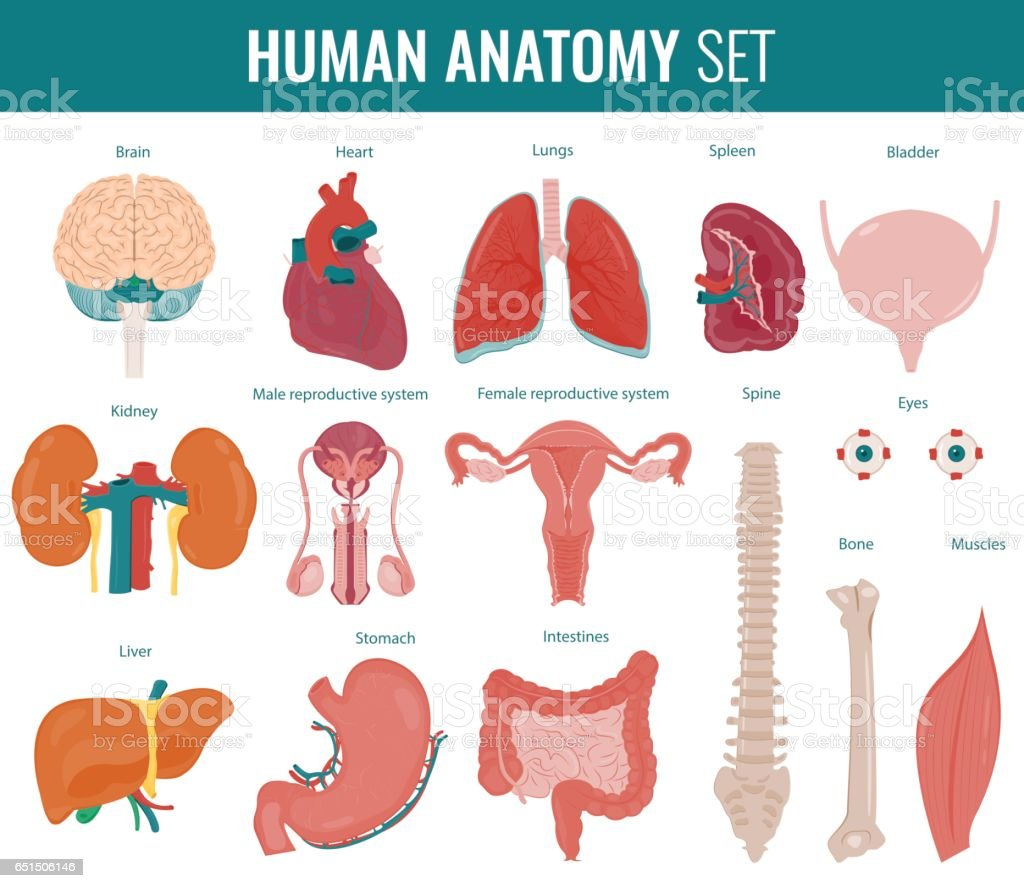 Human internal organs. Anatomy set. Vector vector art illustration