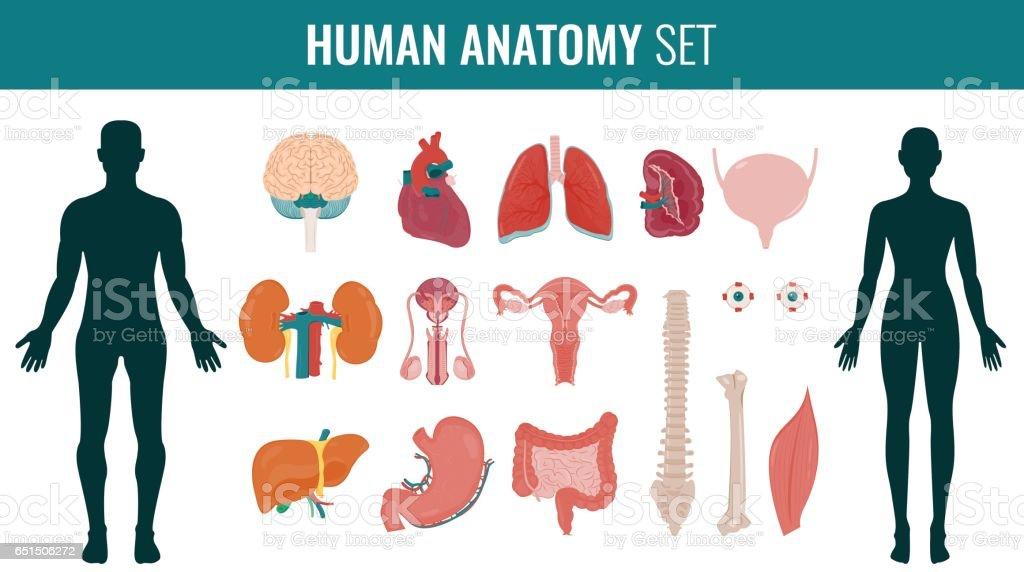 Menschliche Organe Anatomiesatz Vektor Stock Vektor Art und mehr ...