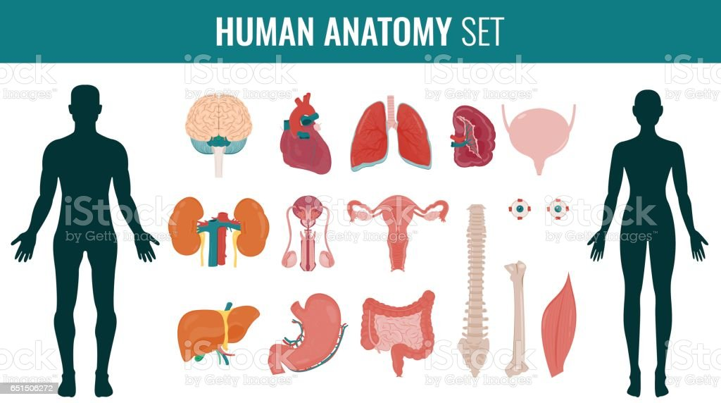 Human internal organs. Anatomy set. Vector vector art illustration