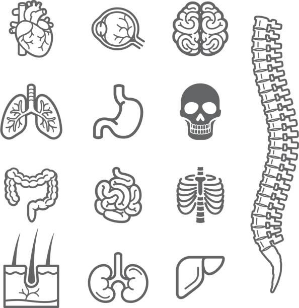 ilustrações de stock, clip art, desenhos animados e ícones de homem órgãos internos ícones detalhados definido. - coração humano
