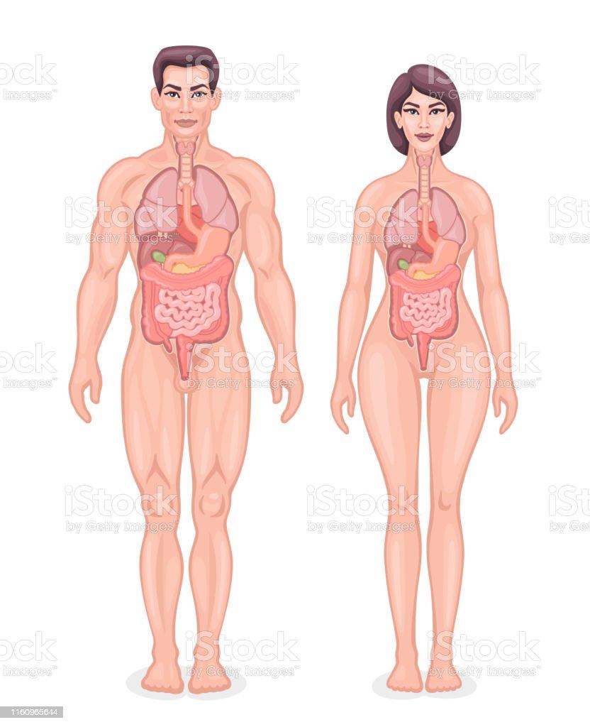 Human Internal Organs Diagram Stock Illustration - Download Image Now -  iStockiStock