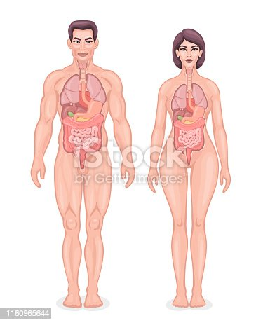 Human internal organs diagram. Male and female vector.