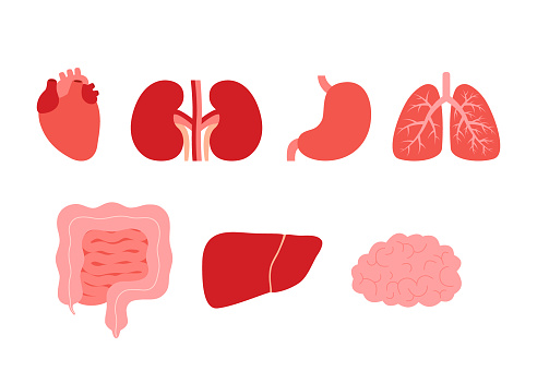 Human internal organs heart, kidneys, stomach, lungs, intestine, liver, brain. Respiratory, digestive, cardiovascular and excretory system. Vector cartoon illustration