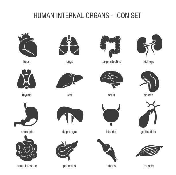 Human Internal Organs Icon Set Vector of Human Internal Organs Icon Set abdomen stock illustrations