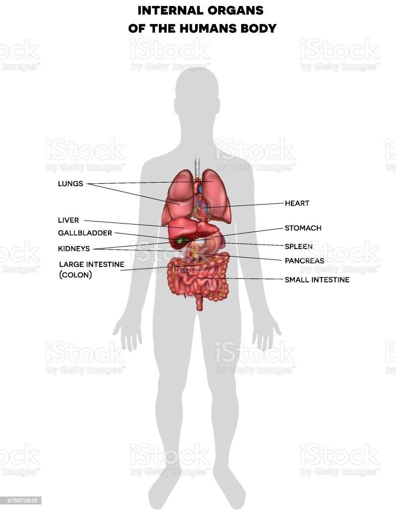 Human Internal Organs Info Stock Vector Art More Images Of Abdomen