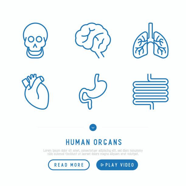 ilustrações de stock, clip art, desenhos animados e ícones de human internal organs thin line icons set: skull, brain, lungs, heart, stomach, intestines. vector illustration. - coração humano