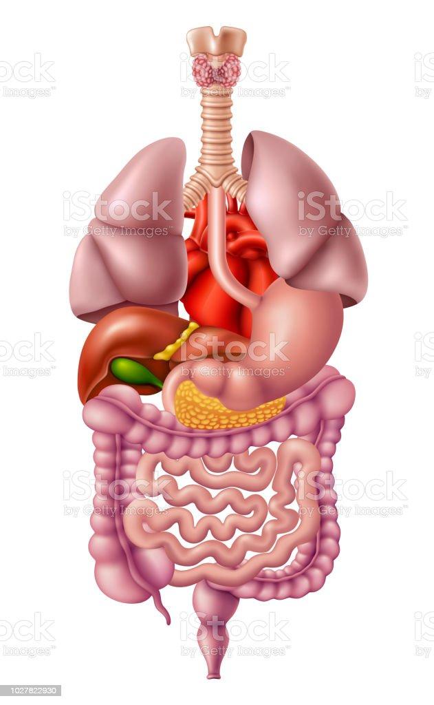 Human Internal Organs Stock Vector Art More Images Of Abdomen