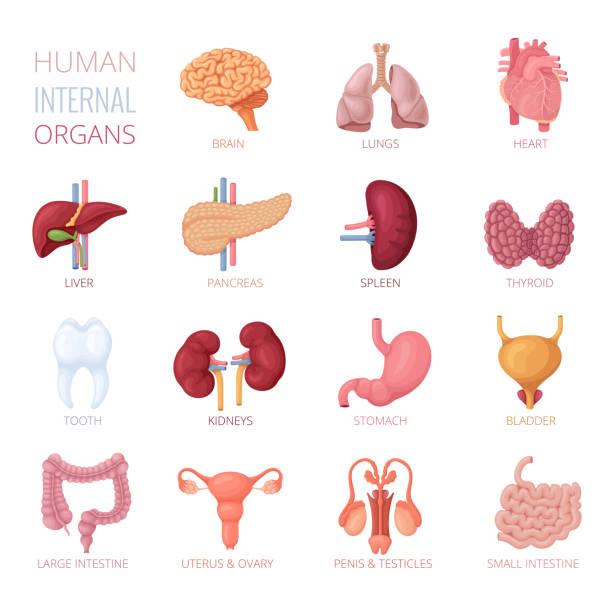 ilustraciones, imágenes clip art, dibujos animados e iconos de stock de organismos internos humanos - órganos internos