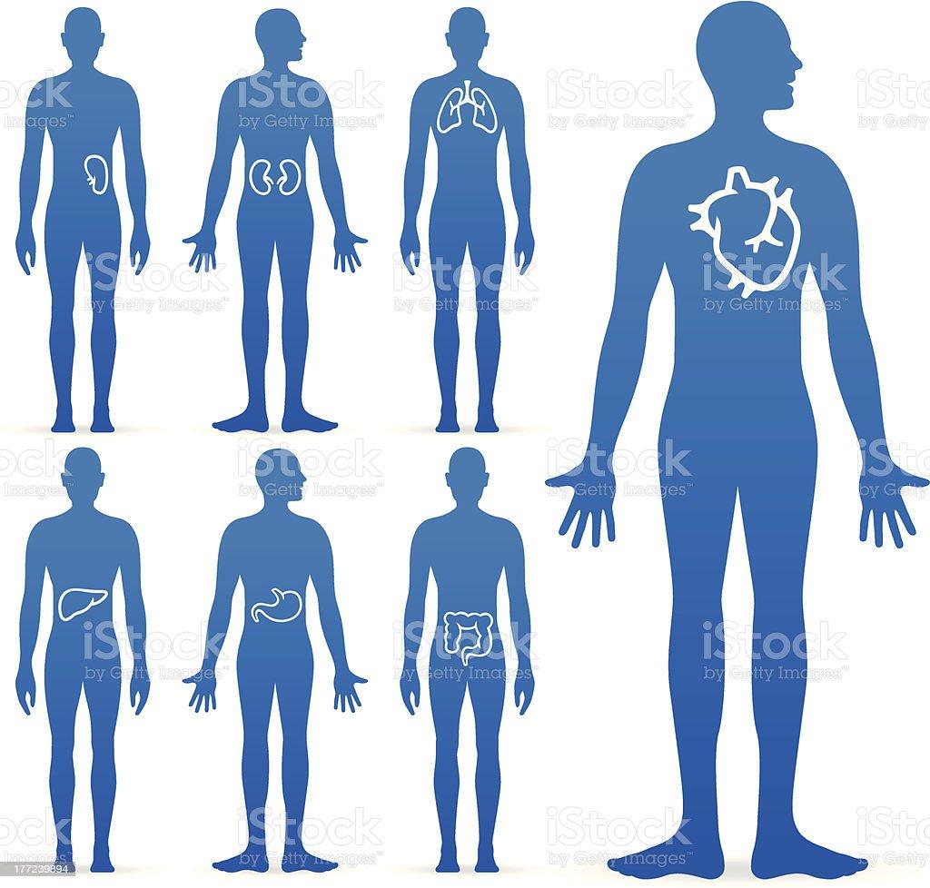 Human Internal Organs royalty-free stock vector art