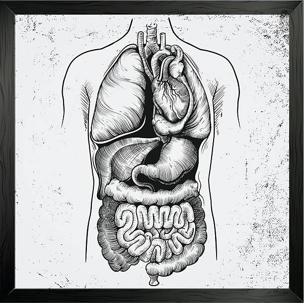 Human Internal Organs vital human body organs biomedical illustration stock illustrations