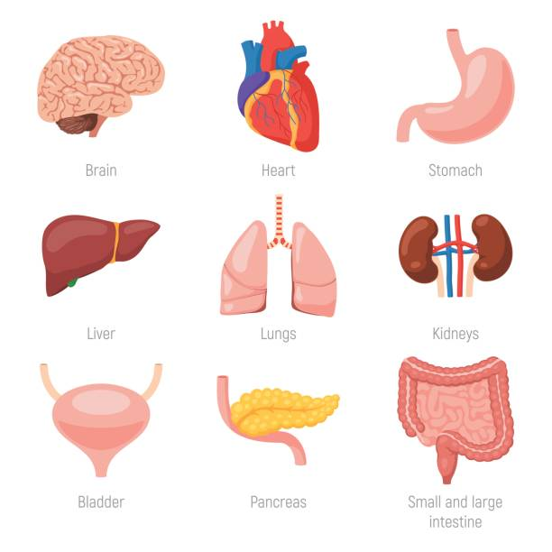 Human internal organs vector art illustration