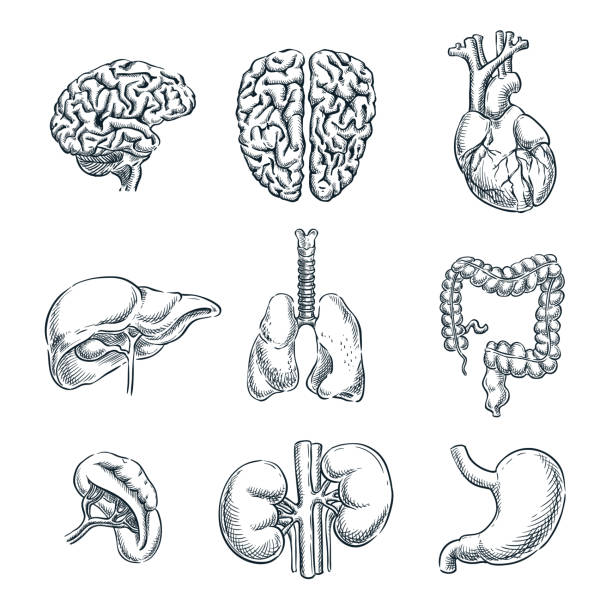 Human internal organs. Vector sketch isolated illustration. Hand drawn doodle anatomy symbols set Human internal organs. Vector sketch isolated illustration. Hand drawn doodle anatomy symbols set. heart internal organ stock illustrations