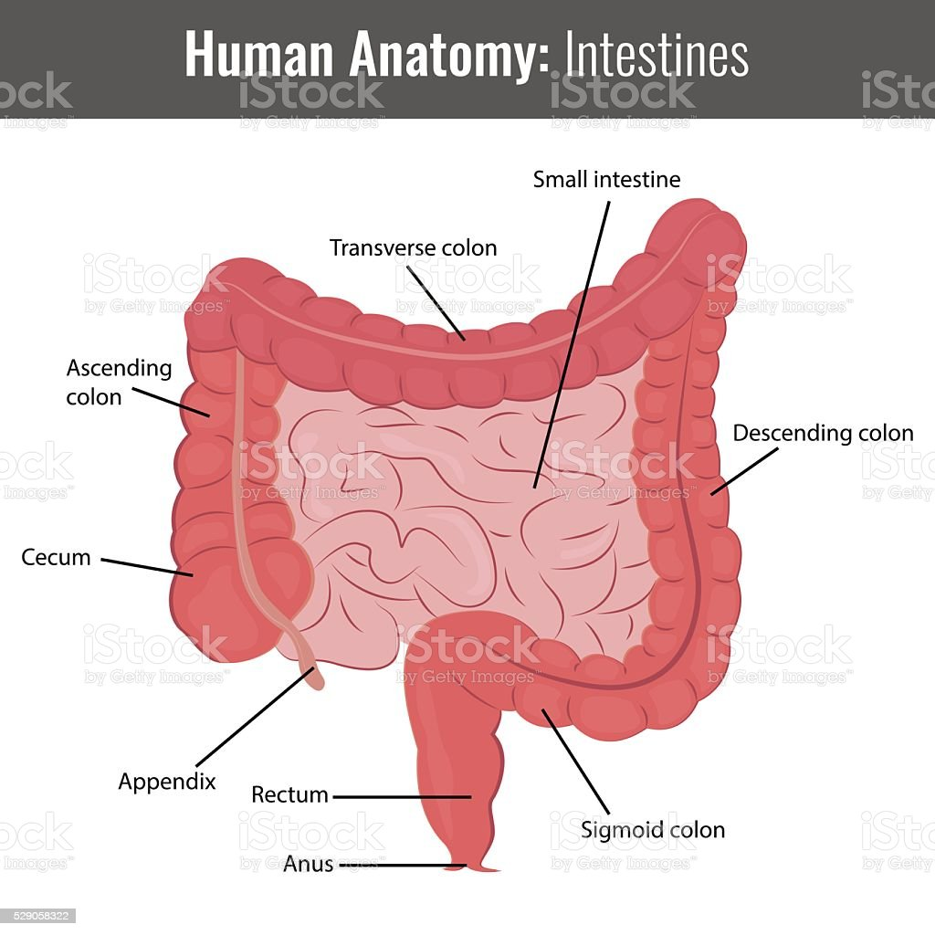 Human Intestines detailed anatomy. Vector Medical vector art illustration