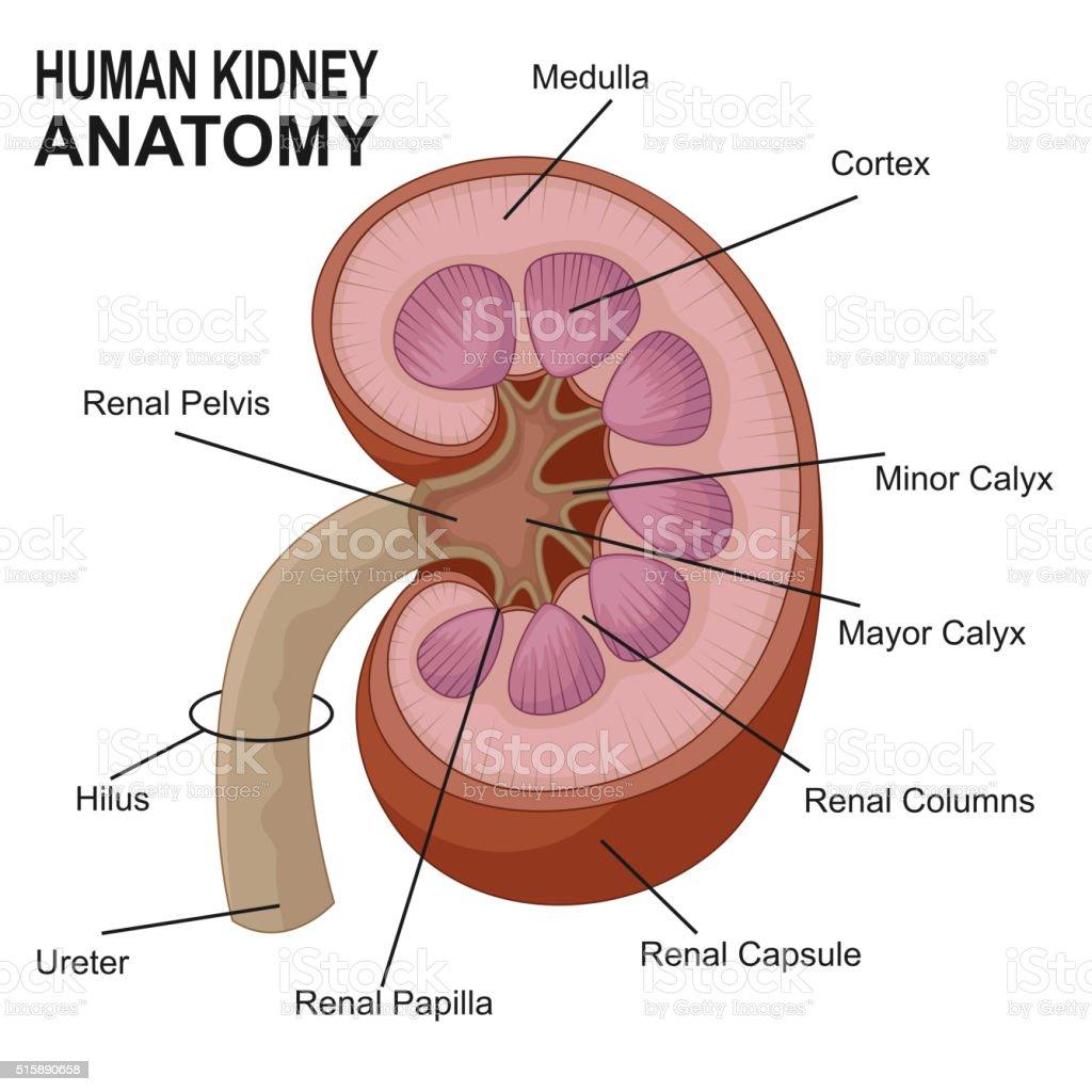 Human Kidney Anatomy Cartoon Stock Vector Art More Images Of