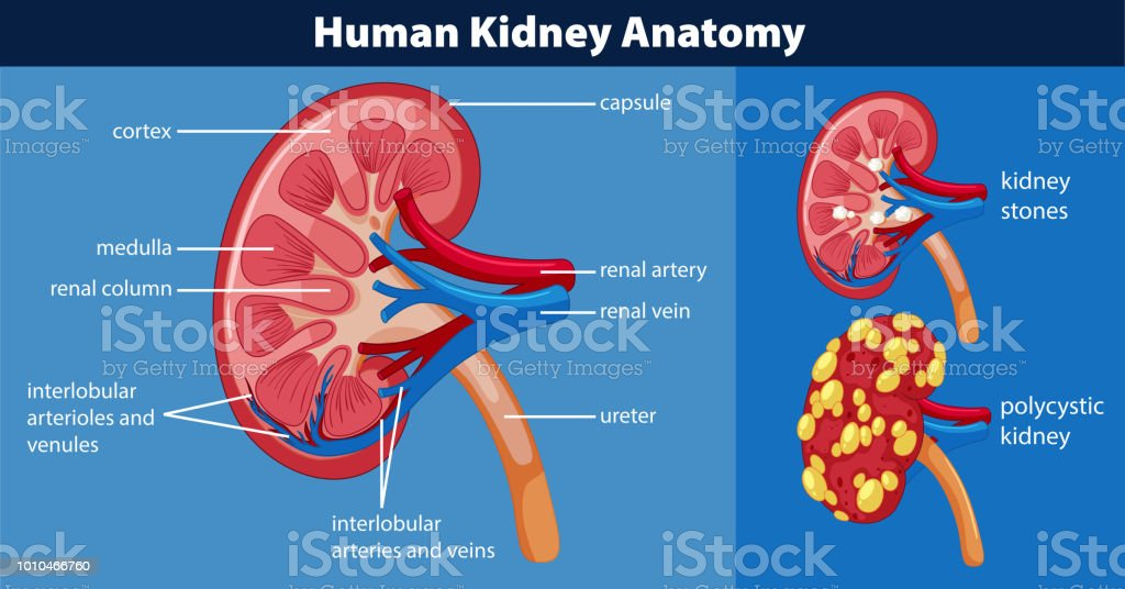 Human Kidney Anatomy Diagram Stock Vector Art & More Images of ...