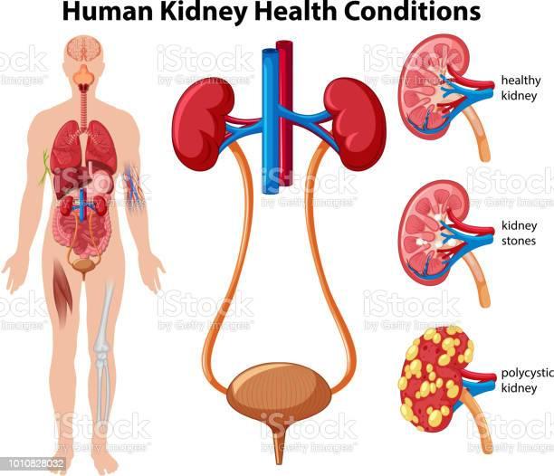 Menselijke Nieren Veterinairrechtelijke Voorschriften Stockvectorkunst en meer beelden van Ader