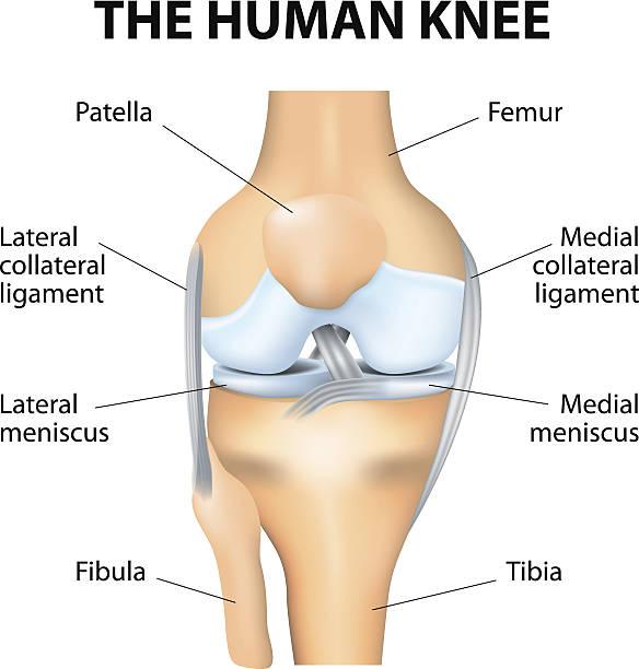 human knee anatomy - 人體部分 幅插畫檔、美工圖案、卡通及圖標