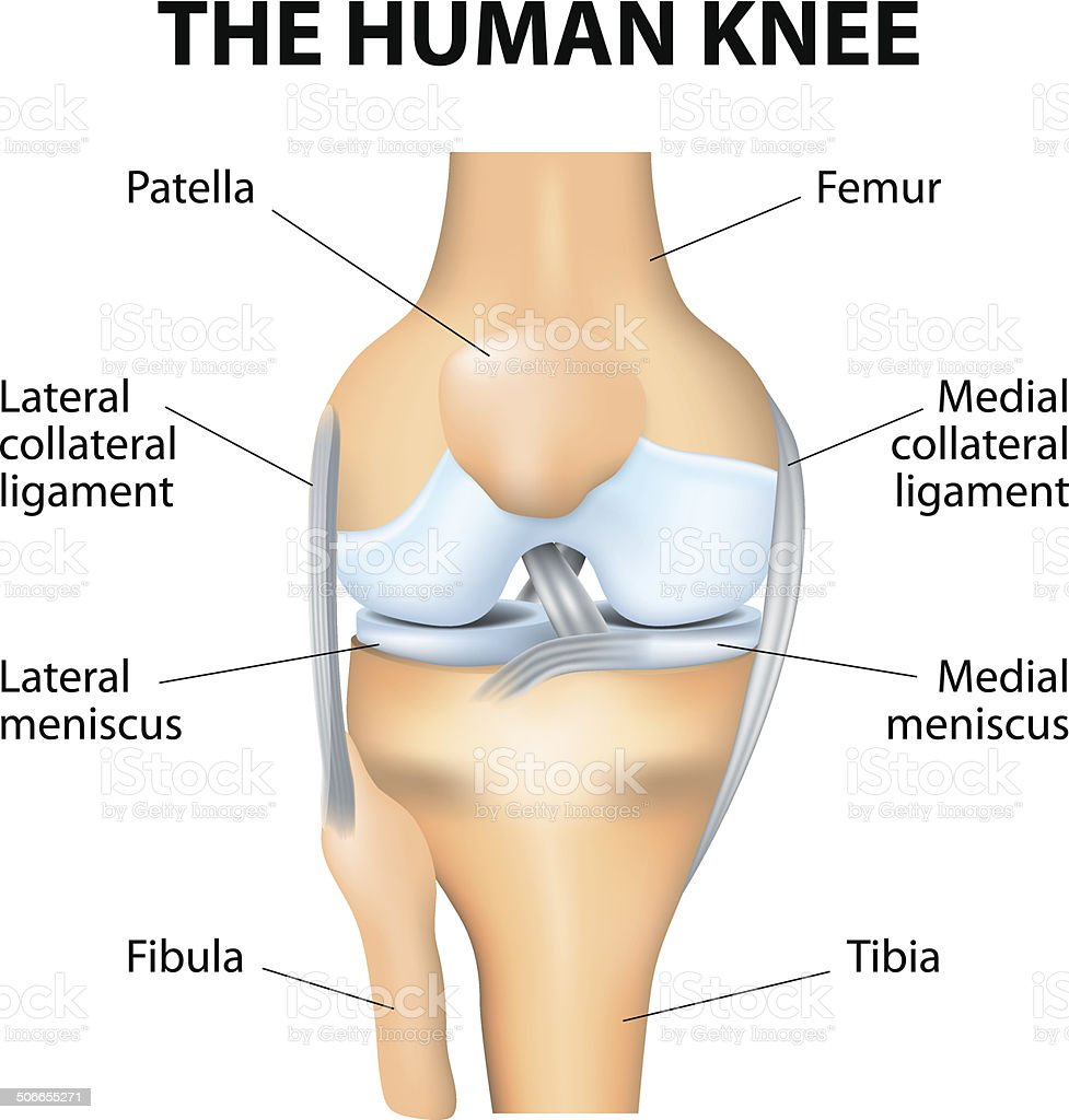 Human Knee Anatomy vector art illustration