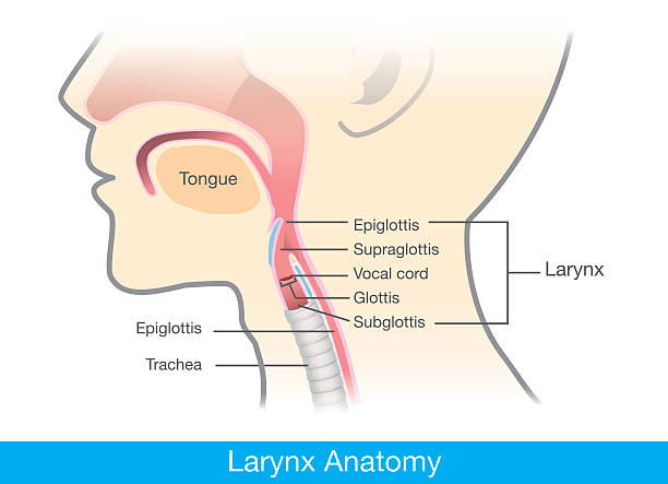 Royalty Free Epiglottis Clip Art, Vector Images & Illustrations - iStock